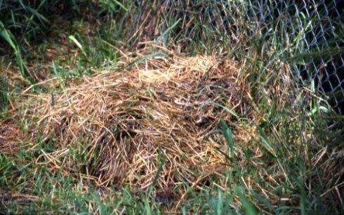 Alligator Nest With Eggs