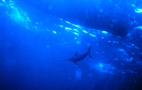 Swordfish Swimming Under Boat