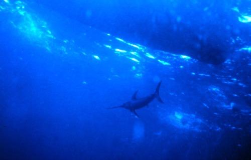 Swordfish Swimming Under Boat