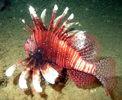 Lionfish are Toxic and Dangerous