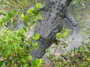 Close Up Of Alligator Snout in the Everglades National Park Swamp