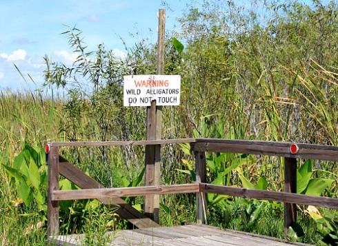 Alligators In Florida Warnings Facts And Enemies