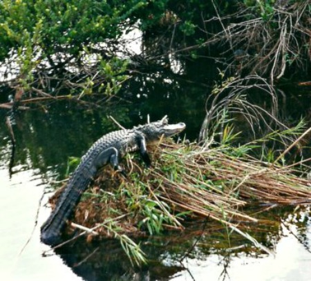 Alligator Sunning on Reed Pile in Everglades