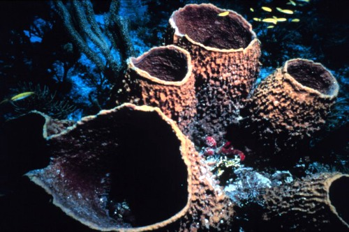 Group Of Barrel Sponges