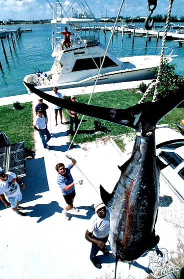 Weighing Massive Blue Marlin