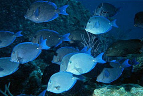 Schooling Blue Tang