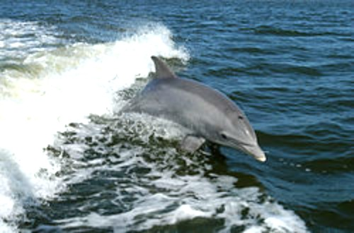 Bottlenose Dolphin Live off the Florida Keys