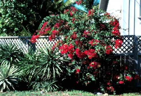 Bougainvilleas Cascade Over Walls and Fences