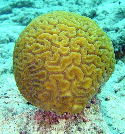 Brain Coral Are Part of the Reef Foundation