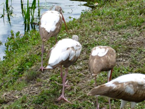 Group of Juvenile Ibis Feeding