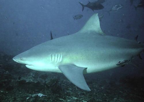 Landed Bull Shark