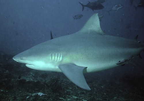 Pregnant Female Bull Shark