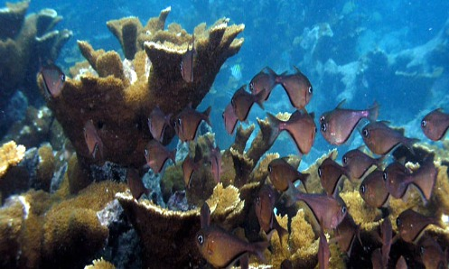 Elkhorn coral and schooling fish