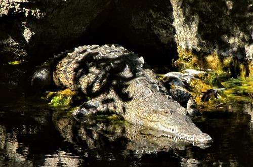 Crocodile at Crocodile Lake National Wildlife Refuge