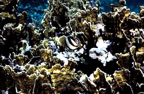 Dangerous Fire Coral