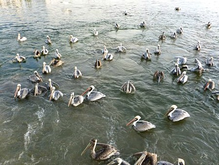 Group Of Pelicans Spotted On Eco Trip