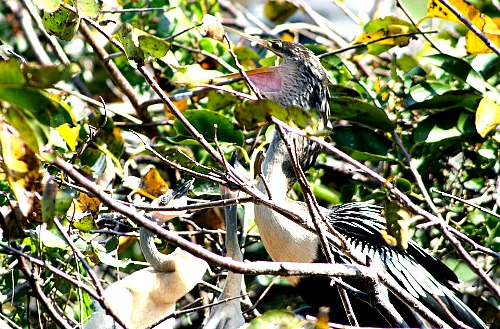 Female Anhinga Feeding Chicks In A Nest
