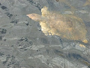 Florida softshell turtle swimming in the swamp at Everglades National Park