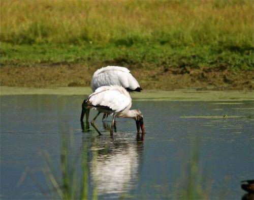 Wood Storks Foraging