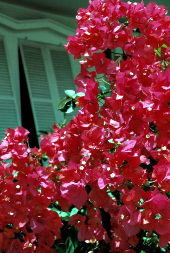 Beautiful Bougainvillea Add to Florida Keys Charm