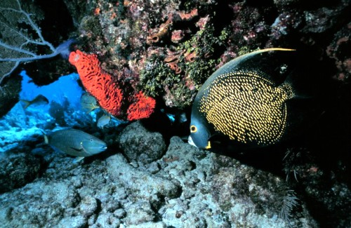 French Angelfish and Coral