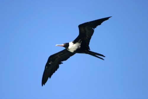 Frigate Bird Circling Over Bait Fish