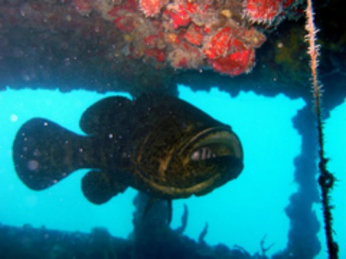 Large Goliath Grouper and Diver