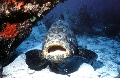 Grouper Hiding out by Rock