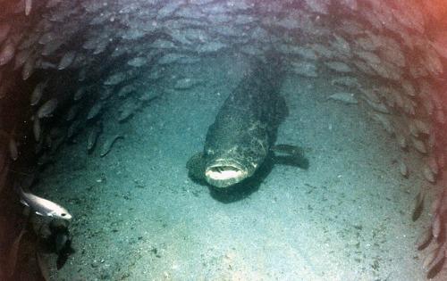 Goliath Grouper also called Jewfish lurking deep below