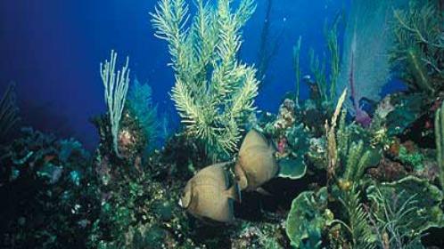 Gray Angelfish and Coral