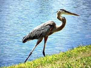 Great Blue Heron Walking Along A Bank