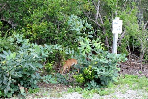 Key Deer Grazing