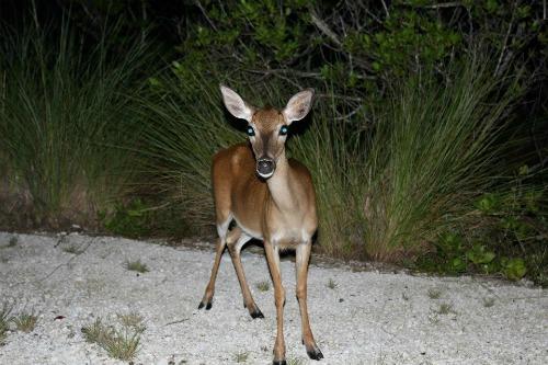 Small Key Deer at Night