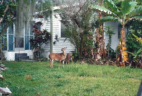 Key Deer in A Florida Backyard