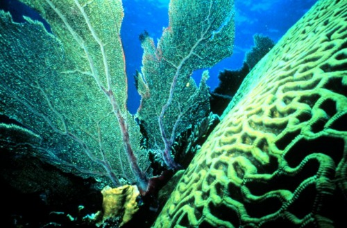 Fan Coral Are Delicately Lacey Especially When Next to Sturdy Brain Coral