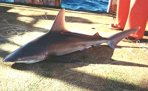 Sandbar Shark in Florida Keys