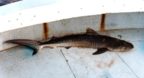 Landed Shark