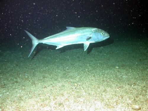 Amberjack Live Near Reefs, Wrecks and Humps