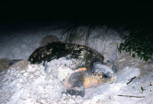 Loggerhead Laying Eggs