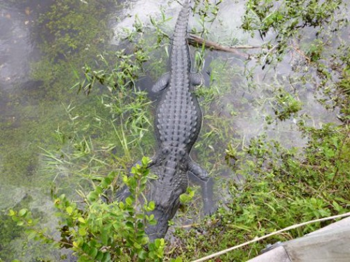 American Alligator Full Length