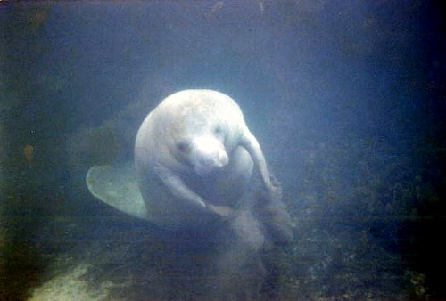 Manatees are the mermaids of old