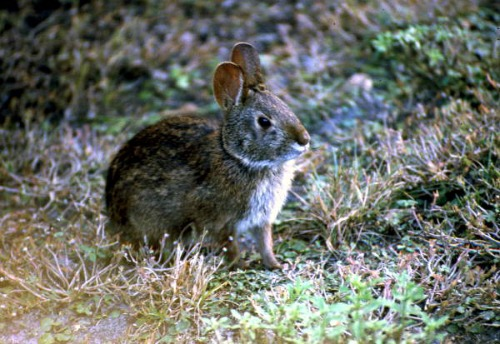 Lower Keys Marsh Rabbit