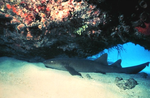 Nurse Shark Swimming Below a Ledge at Samantha Reef