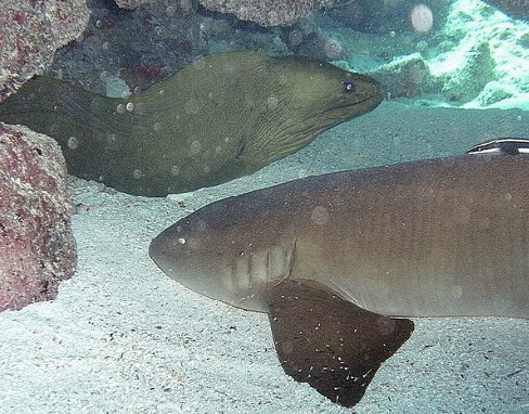 Nurse Shark Meeting up with an eel