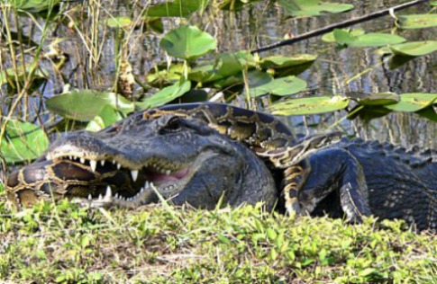 Alligator and Python Battle it Out