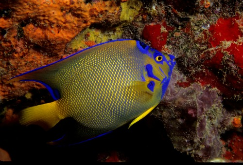 Queen Angelfish Are Seen When Scuba Diving Key Largo