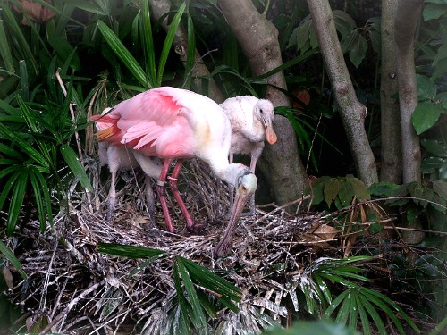 Florida Keys Roseate Spoonbill with Chick in Nest