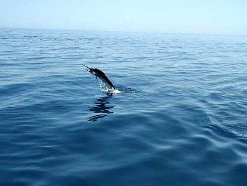 Sailfish Fighting to go Free