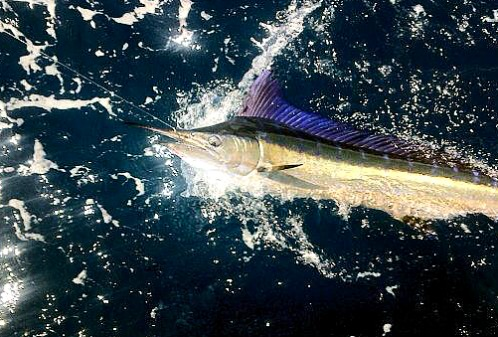Rare Short Billed Spearfish Landed By Captain Billy Wickers III