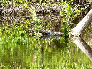 Alligator Resting in the Everglades National Park Swamp